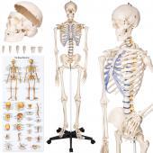 Squelette humain - 181cm