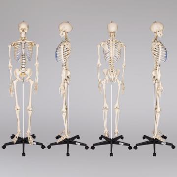 Squelette humain - squelette anatomique - crane humain