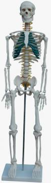 Squelette humaine avec nervures spinals 87cm